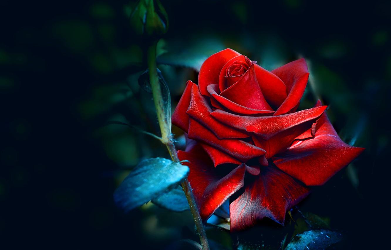 Wallpaper Leaves Drops The Dark Background Rose Bud Red Images For Desktop Section Cvety Download