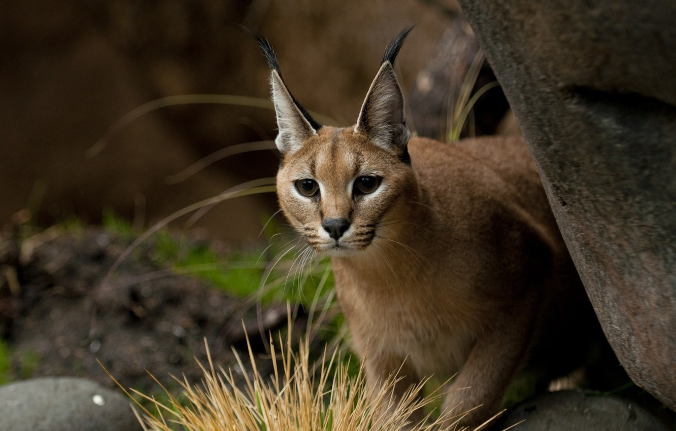 Photo wallpaper nature, blurred background, Caracal