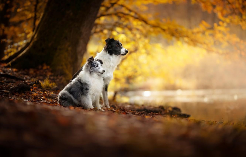 Photo wallpaper autumn, dogs, friends