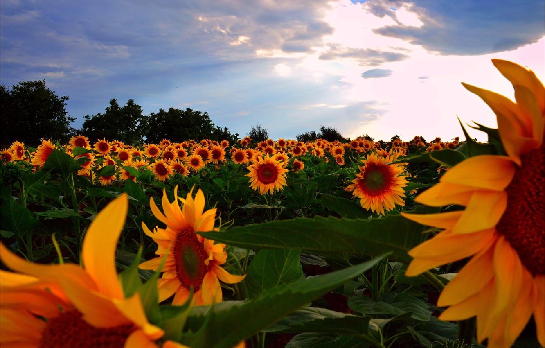 Photo wallpaper Sunset, Field, Summer, Sunflowers, Sunset, Summer, Field, Sunflowers