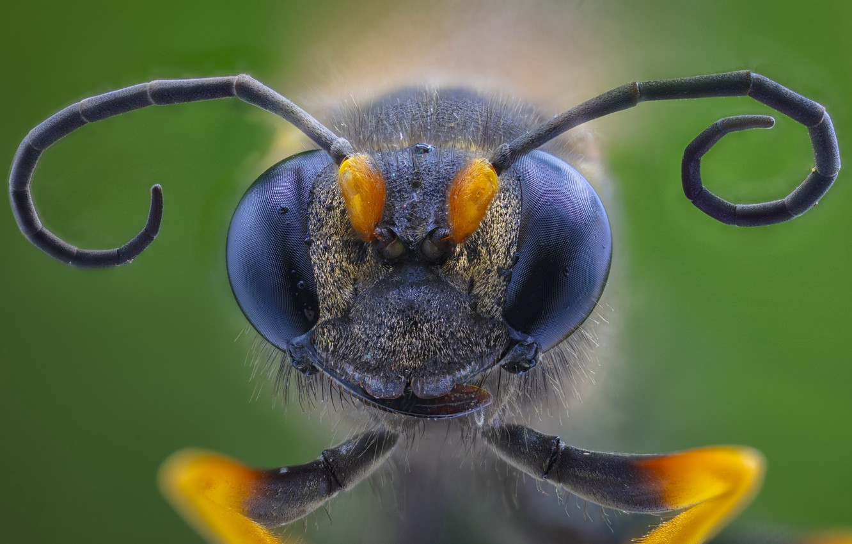Photo wallpaper macro, insect, Hornet