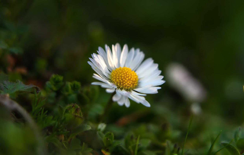 Photo wallpaper flower, bokeh, Daisy