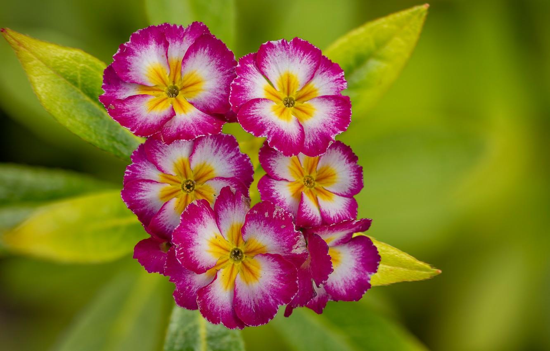 Photo wallpaper macro, Primrose, Primula