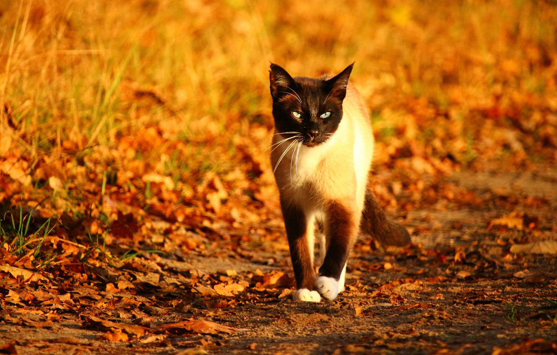 Photo wallpaper autumn, cat, cat, look, leaves, light, glade, foliage, yellow, walk, falling leaves, path, bokeh, Siamese, …