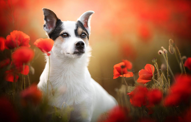 Photo wallpaper look, face, flowers, Maki, dog, blur