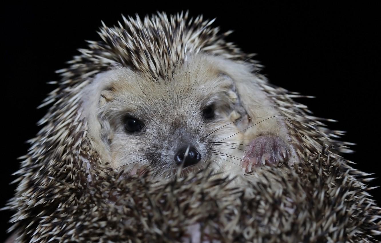 Photo wallpaper background, barb, hedgehog, face
