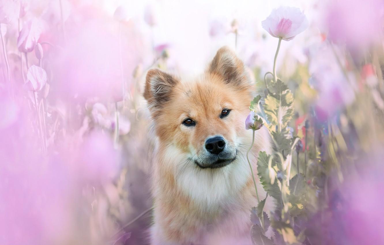 Photo wallpaper summer, look, face, flowers, pink, Maki, portrait, dog, blur, dog, pink, light background, beige, dog, …