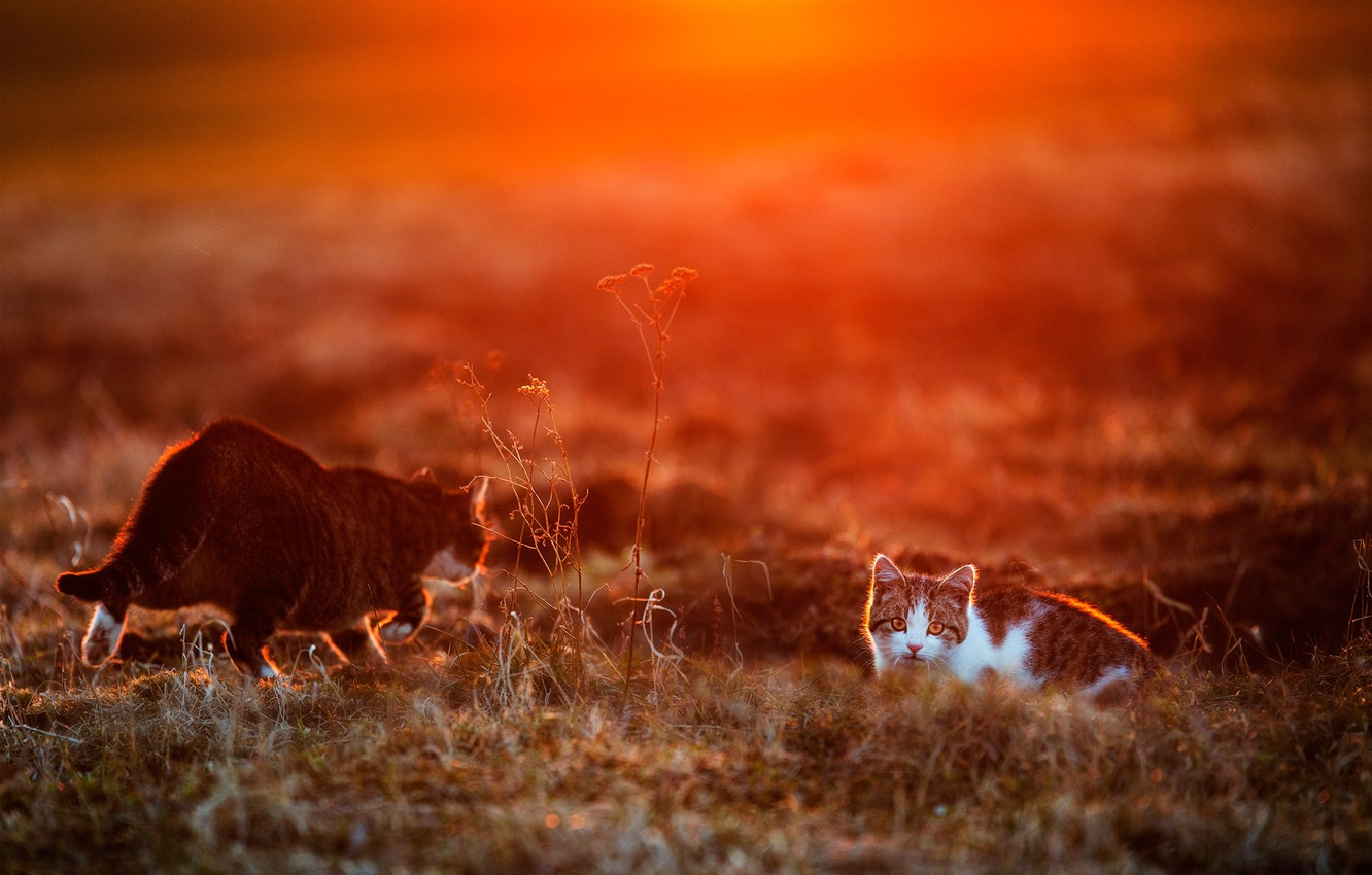 Photo wallpaper cat, cat, look, sunset, two cats