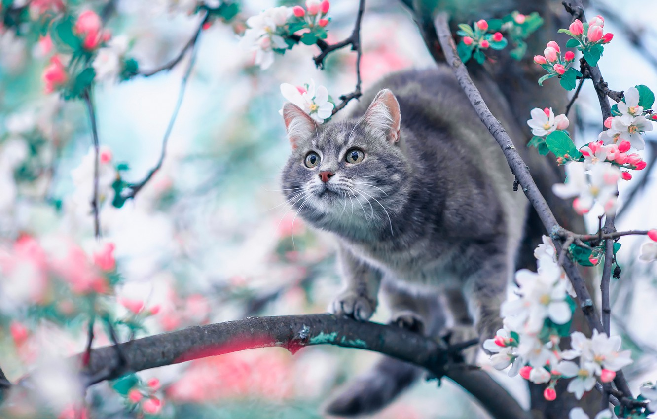 Photo wallpaper cat, branches, spring, Apple, flowering, on the tree, flowers, cat
