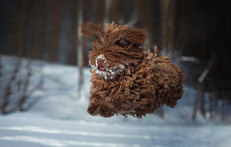 Photo wallpaper winter, snow, jump, dog, wool, flight, Natalia Ponikarova, Барбет, Французская водяная собака