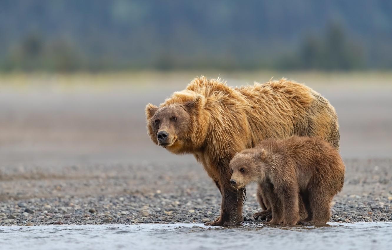 Photo wallpaper river, bears, Alaska, bear, cub, bokeh, bear