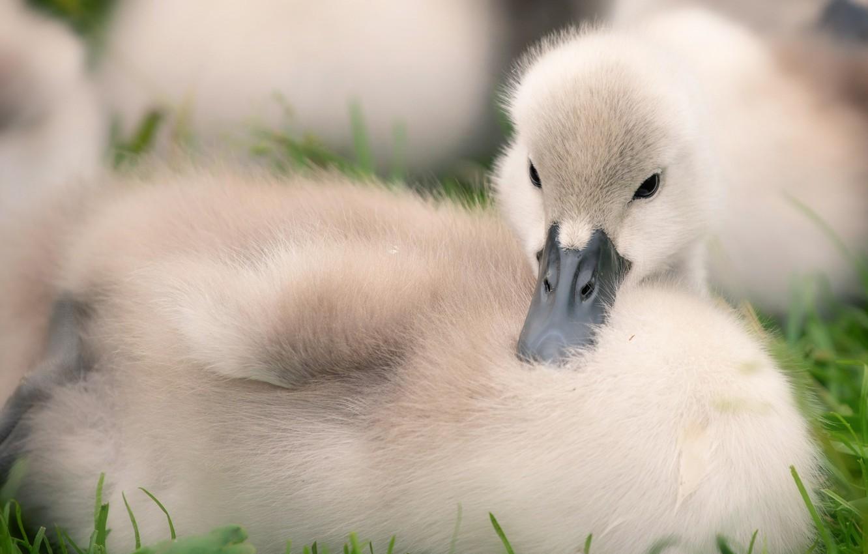 Photo wallpaper close-up, bird, baby, Swan, chick, Lebedenko, Lebedenko