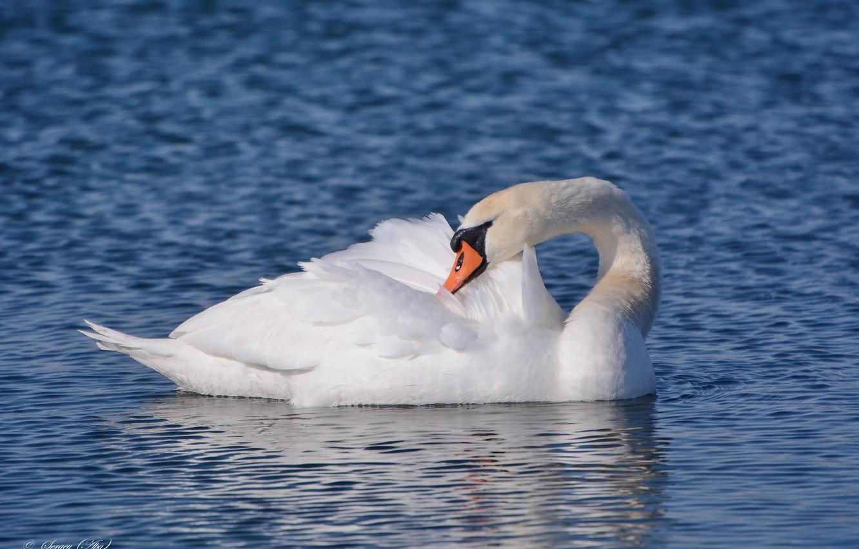 Photo wallpaper lake, bird, Swan, preening its feathers