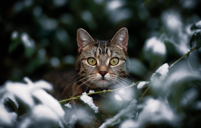 Photo wallpaper cat, look, snow, branches, muzzle, cat