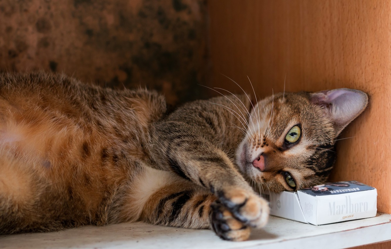 Photo wallpaper cat, cat, face, pose, grey, background, box, stay, paws, shelf, lies, box, brown, striped, the …