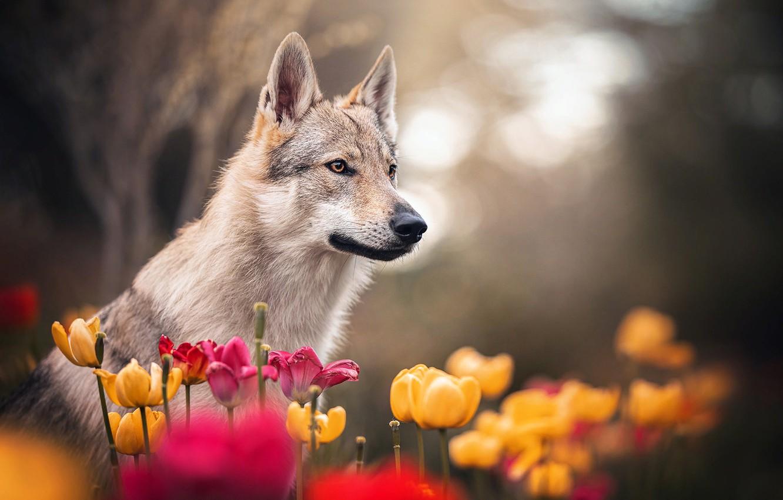 Photo wallpaper flowers, nature, animal, dog, spring, tulips, profile, dog, bokeh