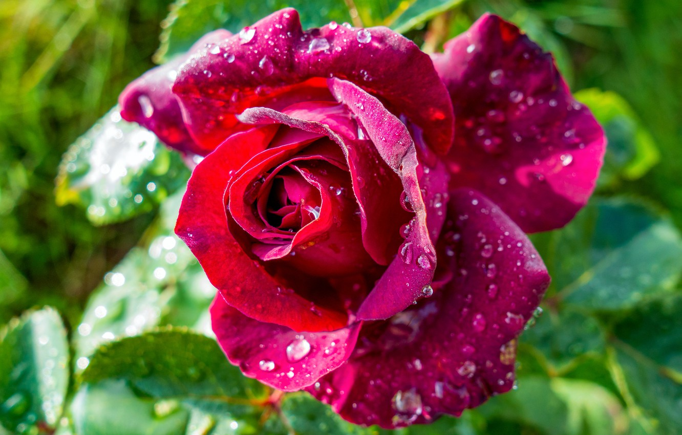 Photo wallpaper flower, rose, droplets of water
