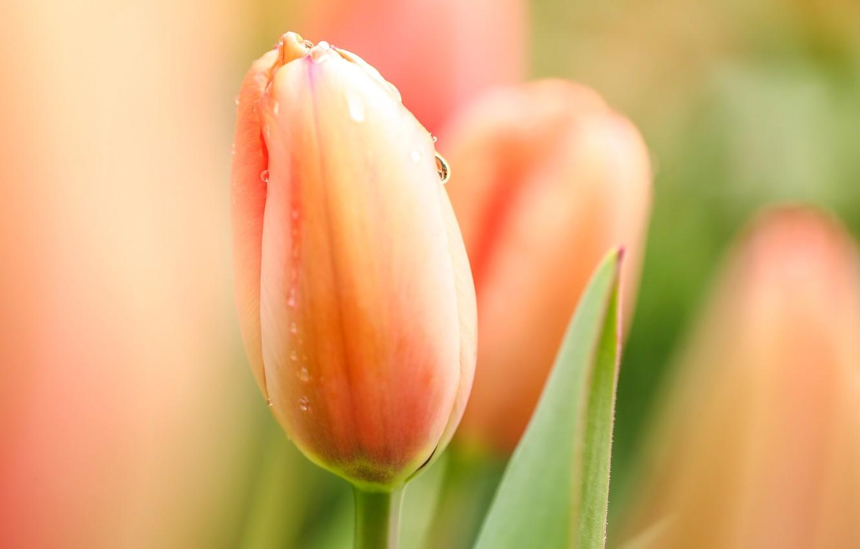 Photo wallpaper flower, drops, macro, flowers, Rosa, Tulip, Spring, morning, tulips
