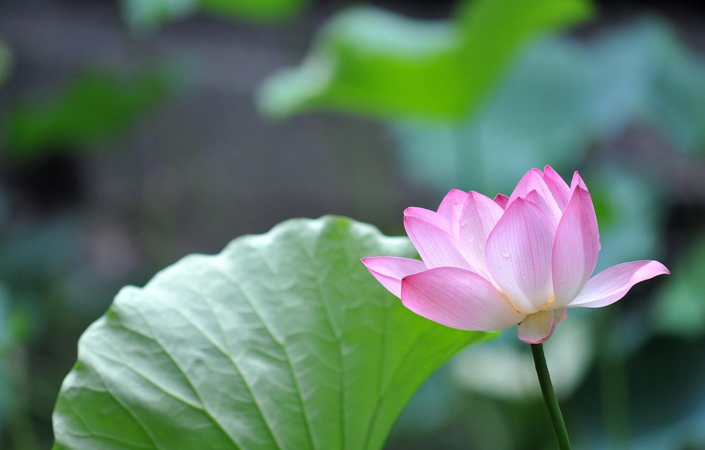 Photo wallpaper nature, petals, Lotus