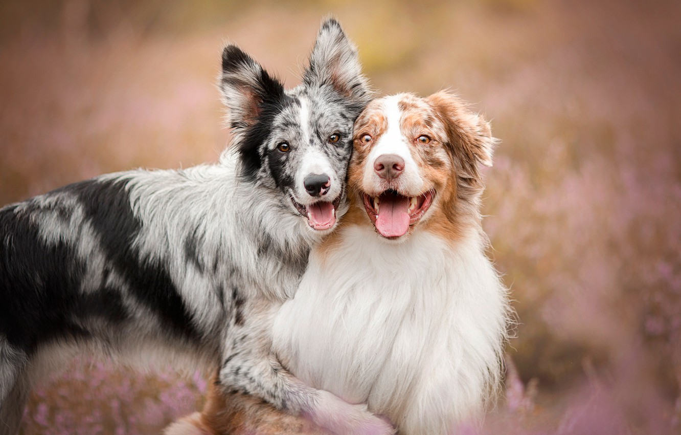 Photo wallpaper language, dogs, summer, happiness, nature, pose, background, portrait, friendship, pair, a couple, Duo, friends, two …