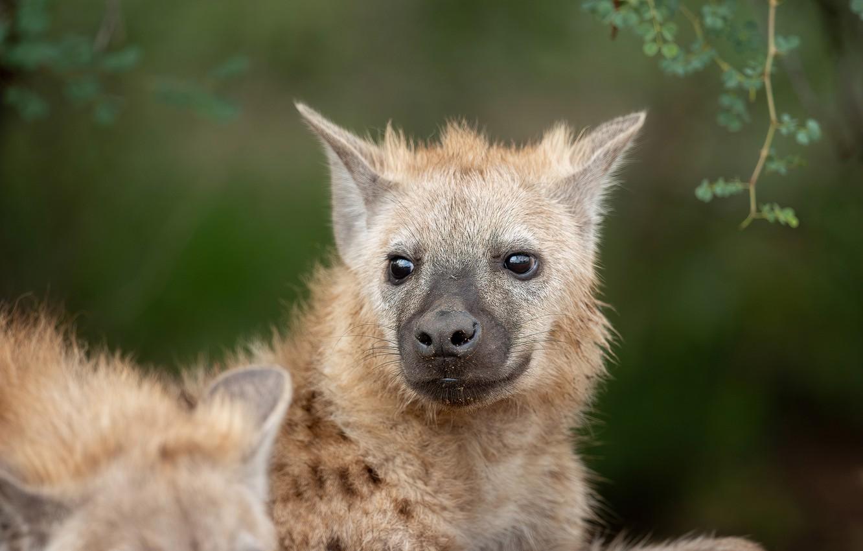 Photo wallpaper look, face, background, portrait, puppy, hyena, cub