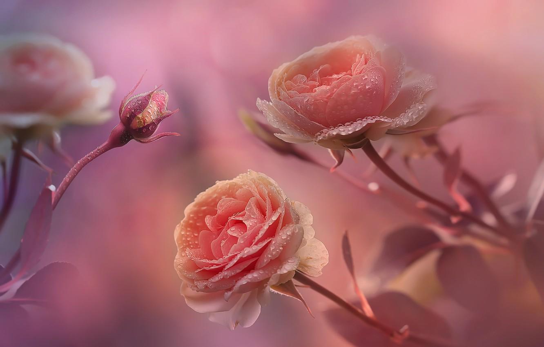 Photo wallpaper drops, macro, flowers, Rosa, background, roses