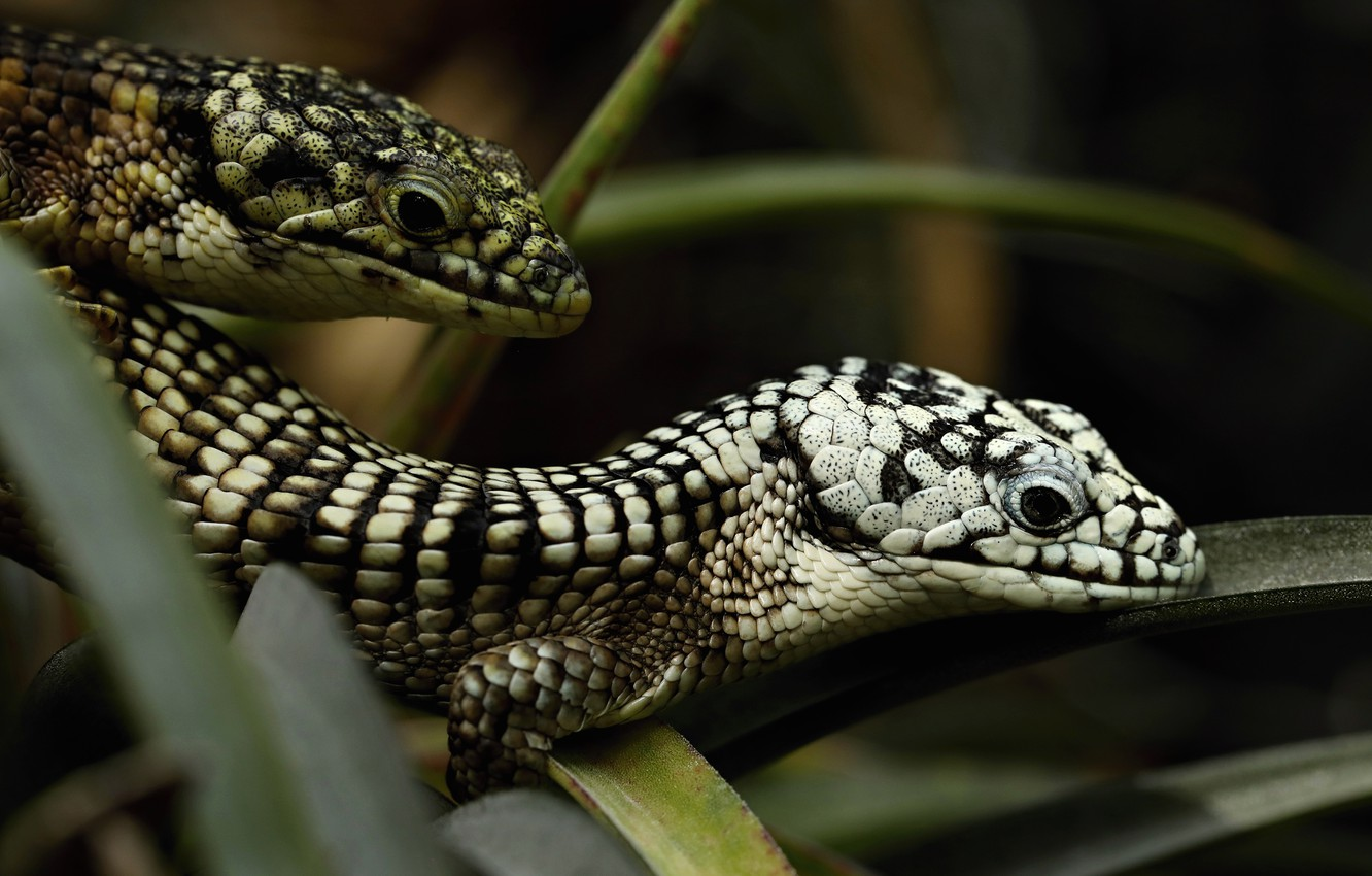 Photo wallpaper look, leaves, the dark background, two, portrait, lizard, pair, black and white, spotted, lizards, reptiles