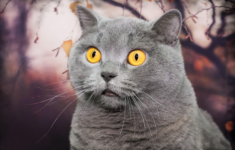 Photo wallpaper cat, look, background, British