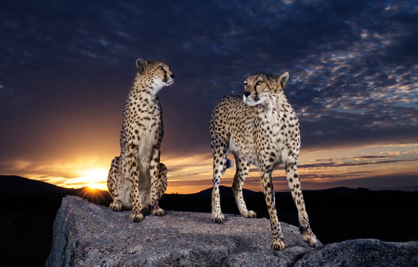 Photo wallpaper the sky, the sun, clouds, sunset, night, clouds, nature, pose, darkness, stones, background, pair, Cheetah, …