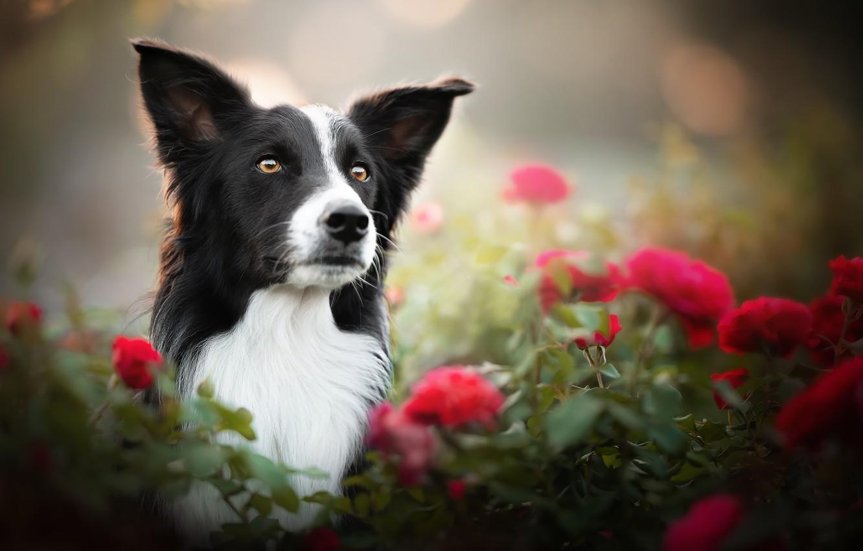 Photo wallpaper face, flowers, portrait, roses, dog, bokeh, The border collie