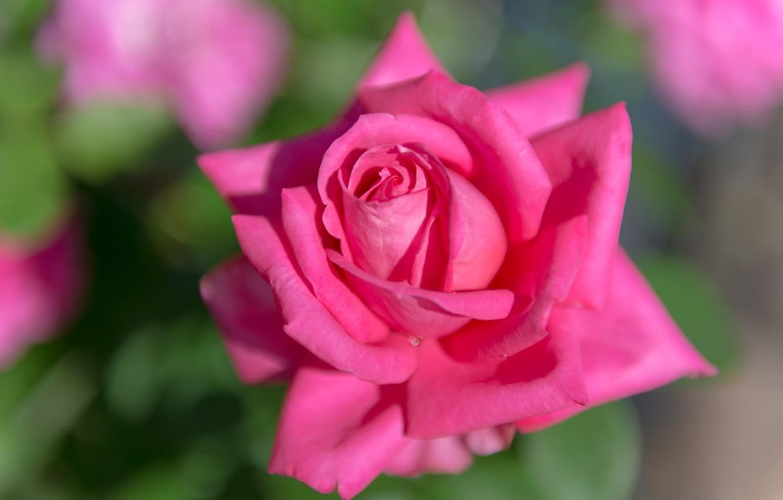 Photo wallpaper macro, pink, rose, petals, Bud, bokeh