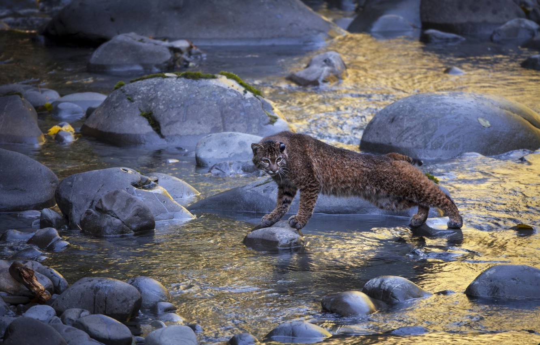 Photo wallpaper water, river, stones, lynx