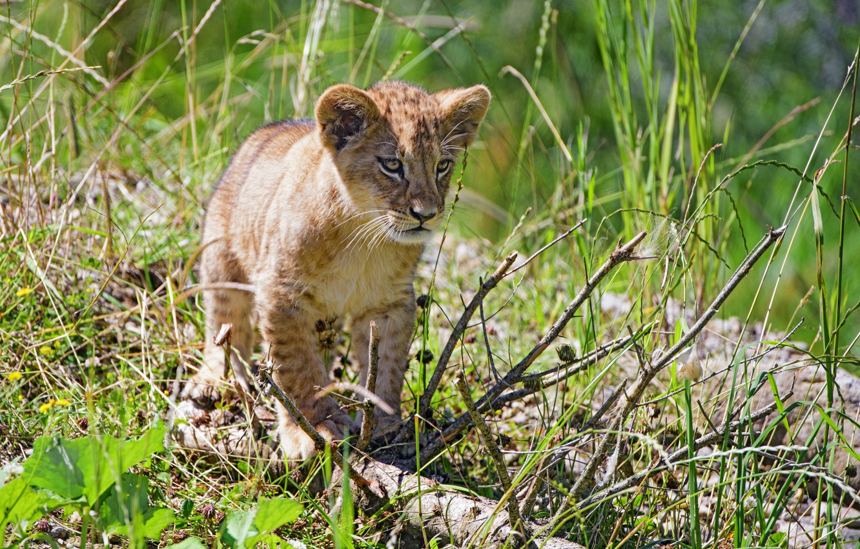 Photo wallpaper grass, baby, lion
