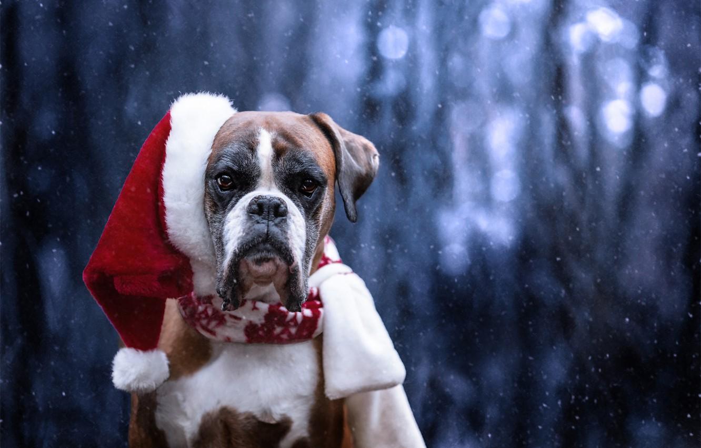 Photo wallpaper look, face, snow, dog, Santa Claus, cap, Boxer