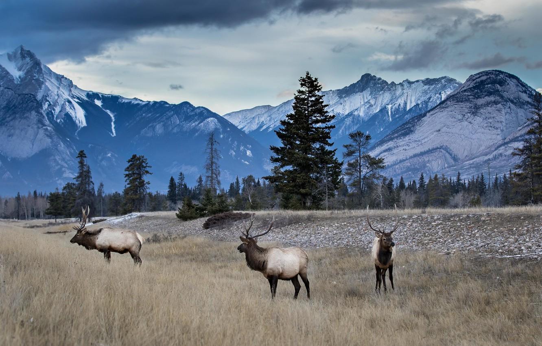 Photo wallpaper forest, mountains, deer