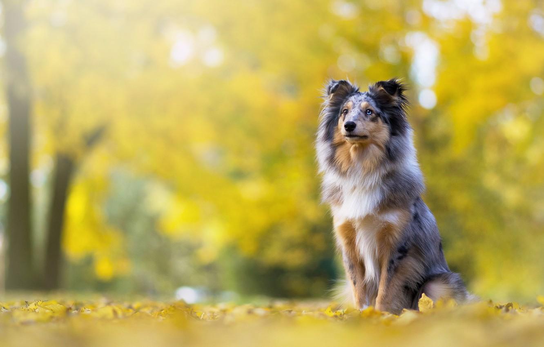 Photo wallpaper autumn, look, face, pose, Park, foliage, dog, puppy, sitting, bokeh, collie