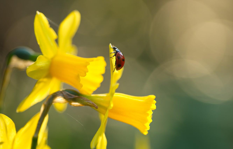 Photo wallpaper macro, flowers, nature, ladybug, beetle, spring, insect, daffodils, bokeh