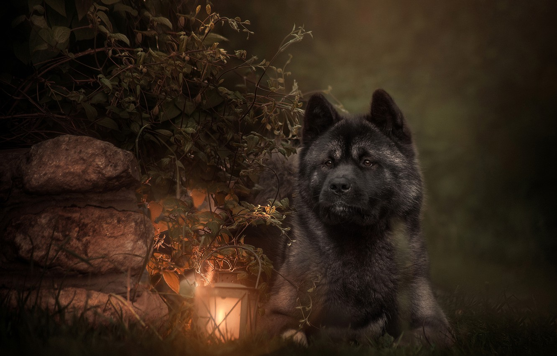 Photo wallpaper leaves, branches, stones, animal, dog, lantern, dog