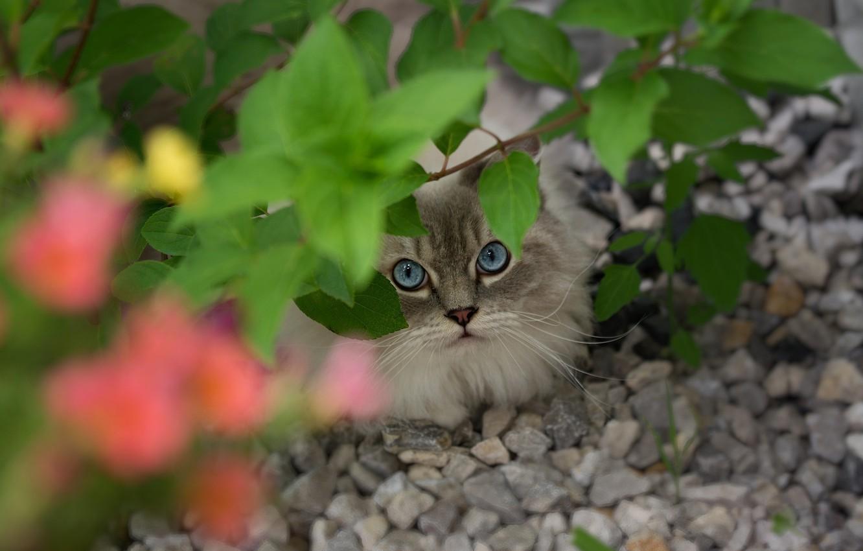 Photo wallpaper cat, cat, look, face, leaves, stones, branch, blue eyes, Peeps, ragdoll