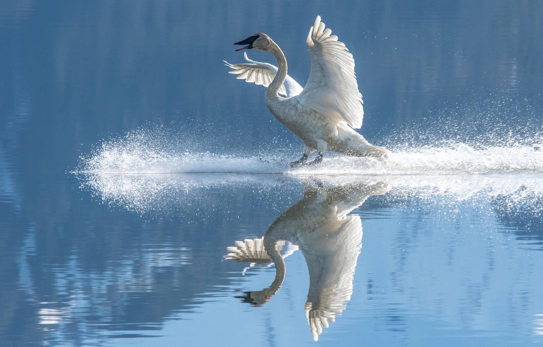 Photo wallpaper white, reflection, bird, Swan, pond, wingspan