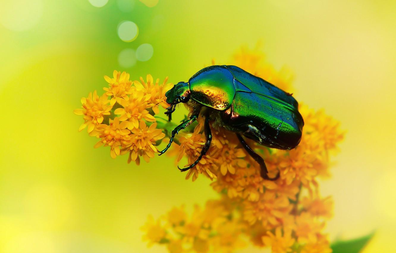 Wallpaper summer, macro, flowers, yellow, green, background, beetle