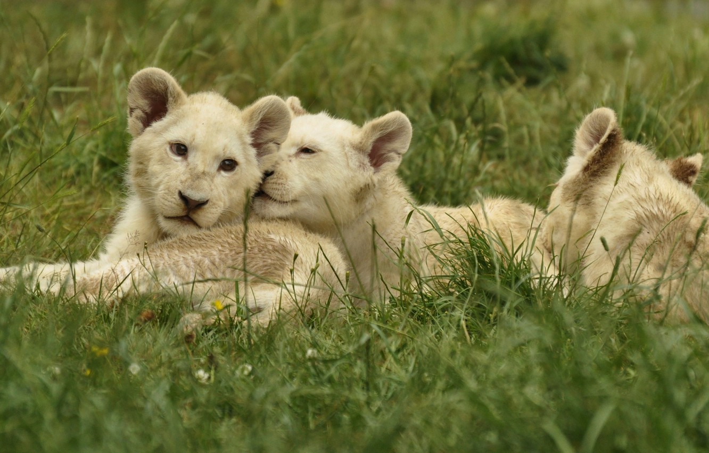 Photo wallpaper animals, grass, nature, predators, the cubs, cubs