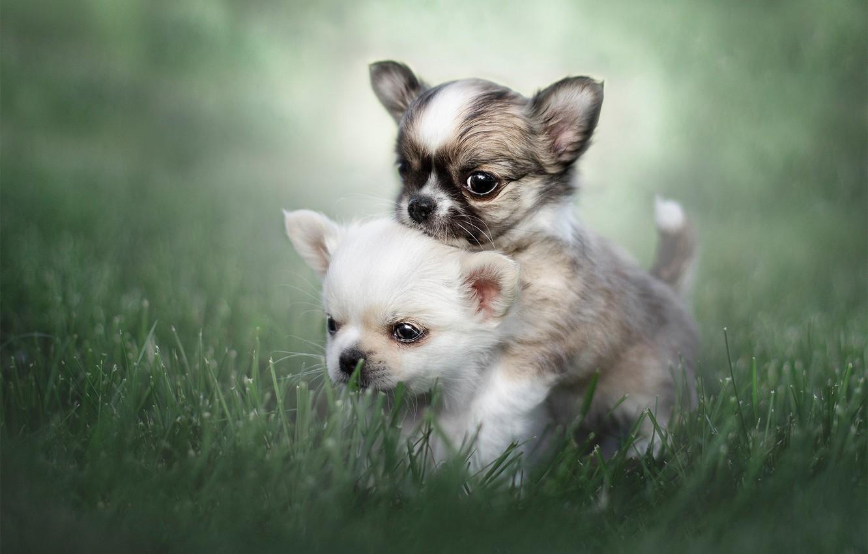 Photo wallpaper grass, puppies, kids, a couple, bokeh, Chihuahua, doggie