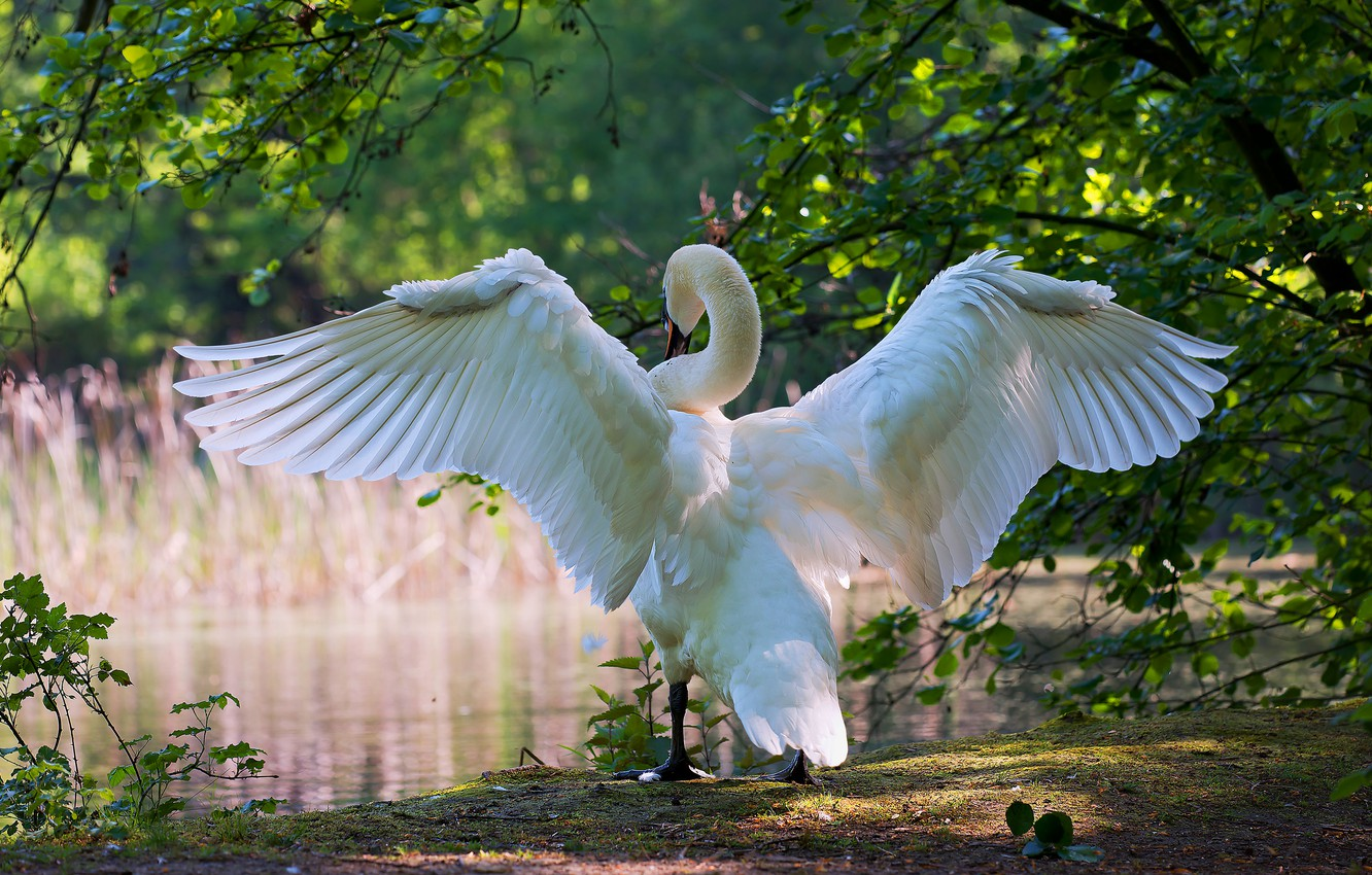 Photo wallpaper greens, white, summer, leaves, light, branches, nature, pose, lake, pond, bird, shore, wings, feathers, Swan, …