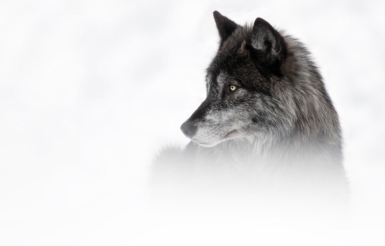 Wallpaper Winter Look Face Snow Grey Black Wolf Portrait White Background Profile Images For Desktop Section Zhivotnye Download