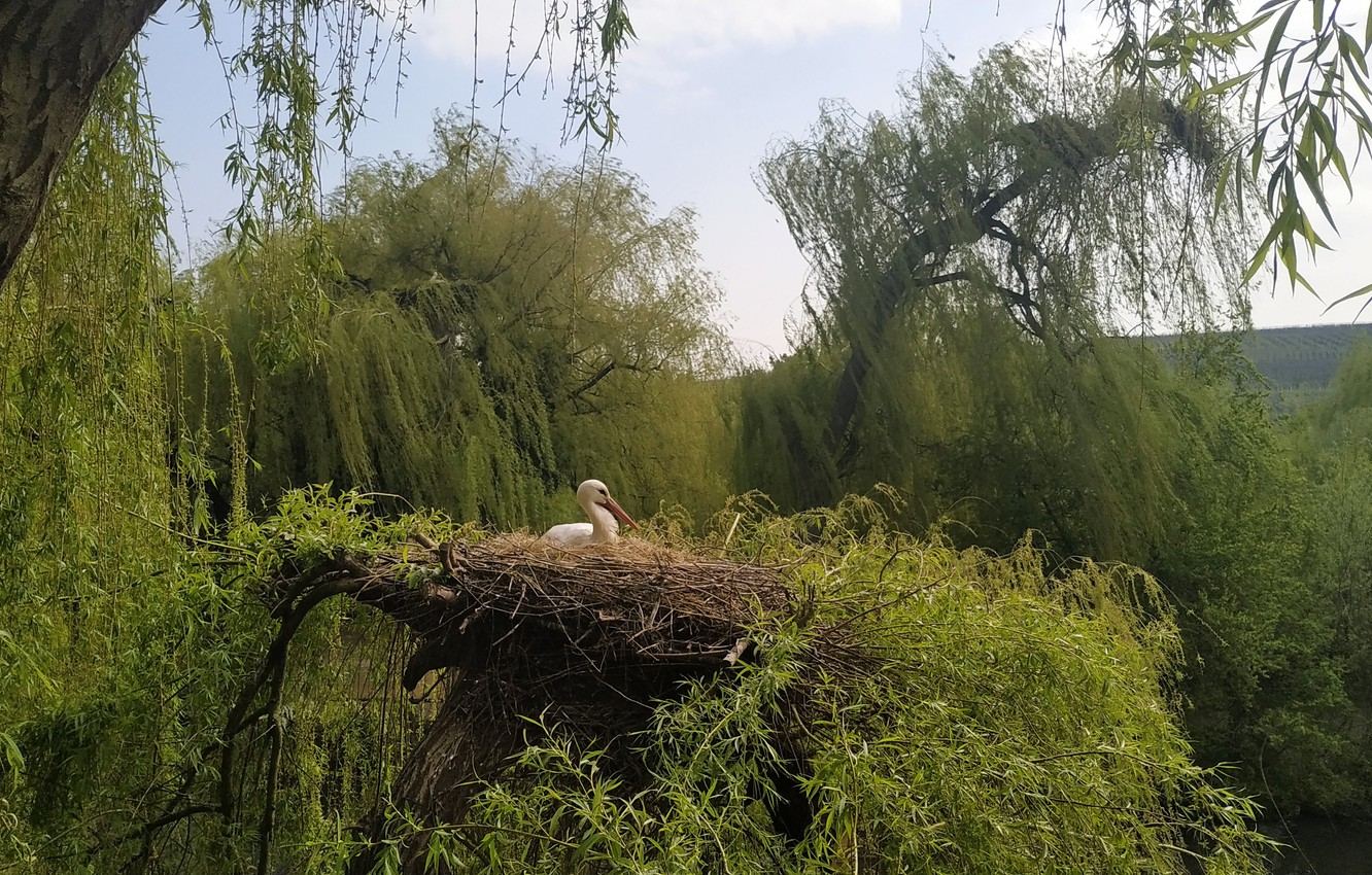 Photo wallpaper bird, france, stork, alsace