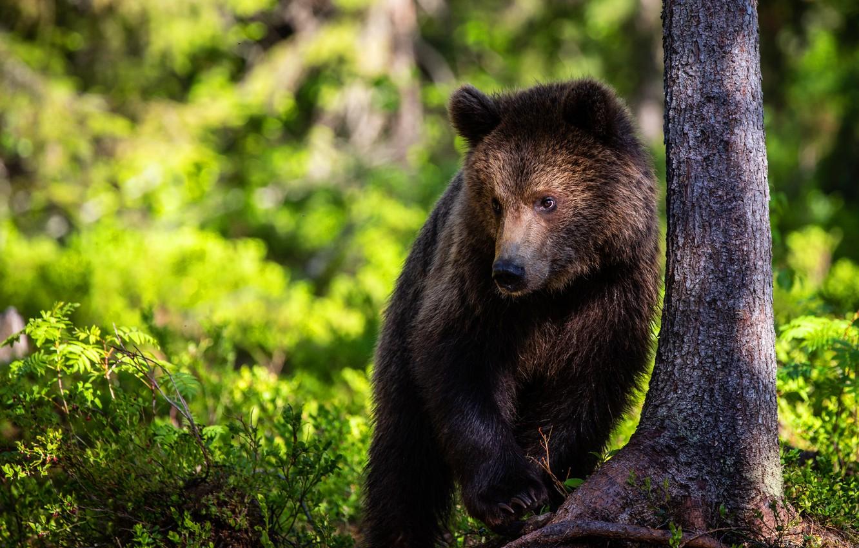 Photo wallpaper greens, forest, look, light, nature, tree, bear, bear, trunk, bear, brown