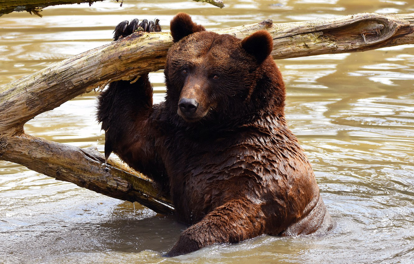 Photo wallpaper look, face, water, wet, pose, bear, bathing, bear, snag, pond, wildlife, brown, Mikhaylo Potapych