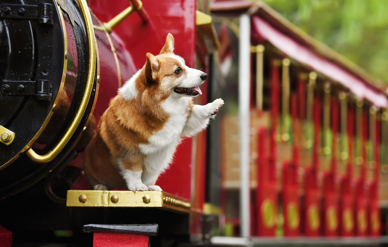 Photo wallpaper animal, the engine, dog, dog, Corgi