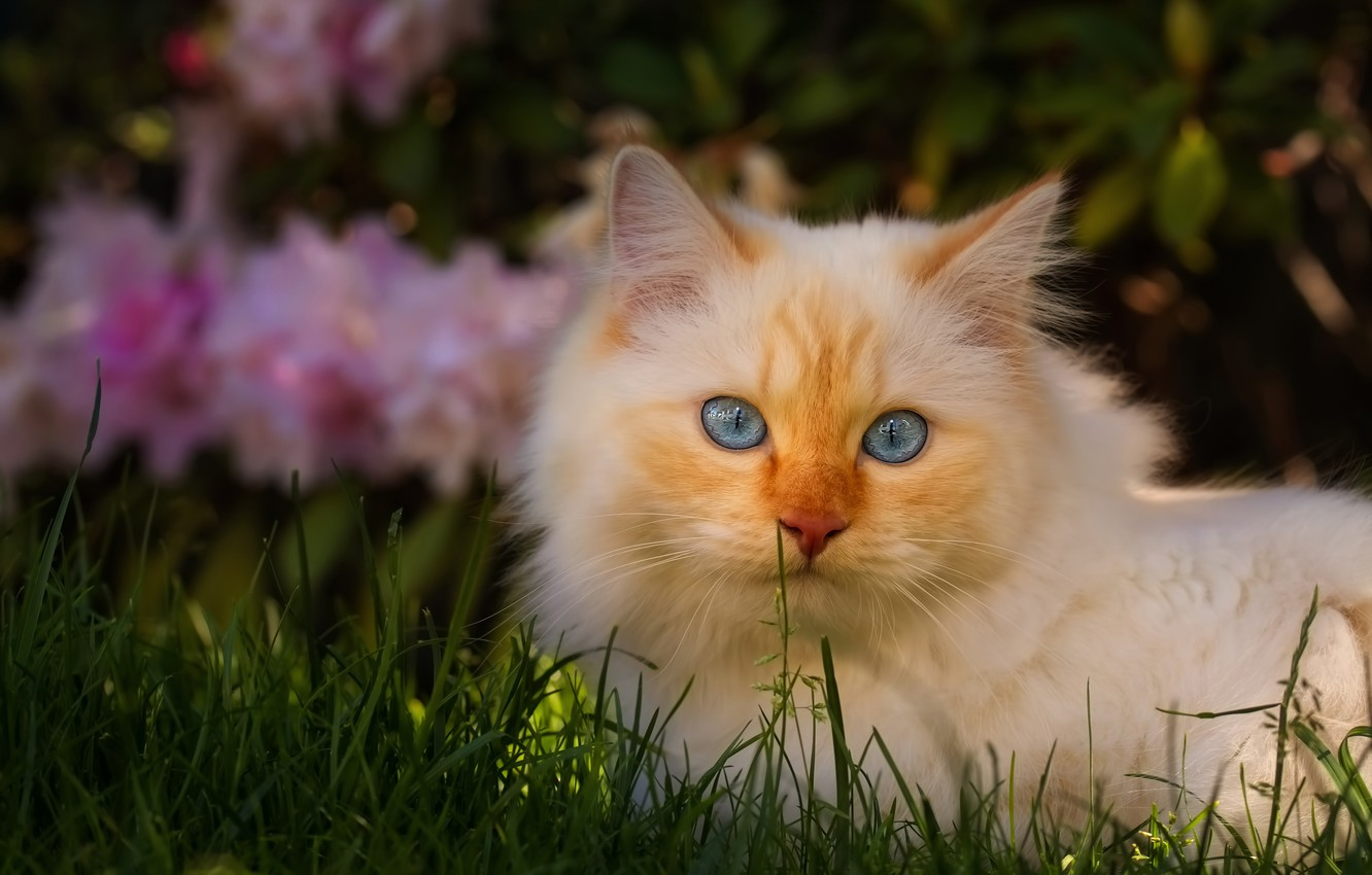 Photo wallpaper cat, white, grass, cat, look, face, light, flowers, nature, pose, the dark background, background, glade, …
